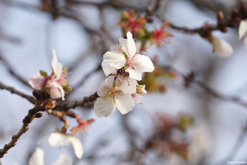 181225冬桜1