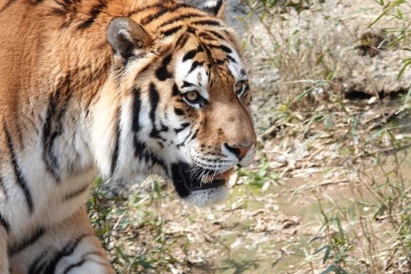 バイクで走行中に野生のトラが猛スピードで追いかけて来た動画が話題に