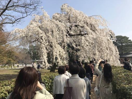 みんなの撮影した綺麗な桜の写真を見せ合おうよ