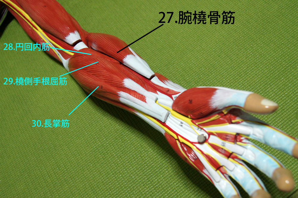 腕 橈骨 筋 神経
