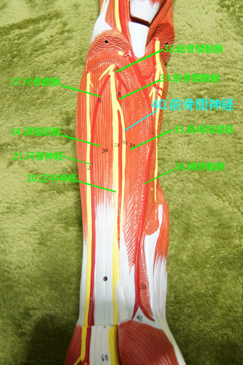 人体解剖学など。