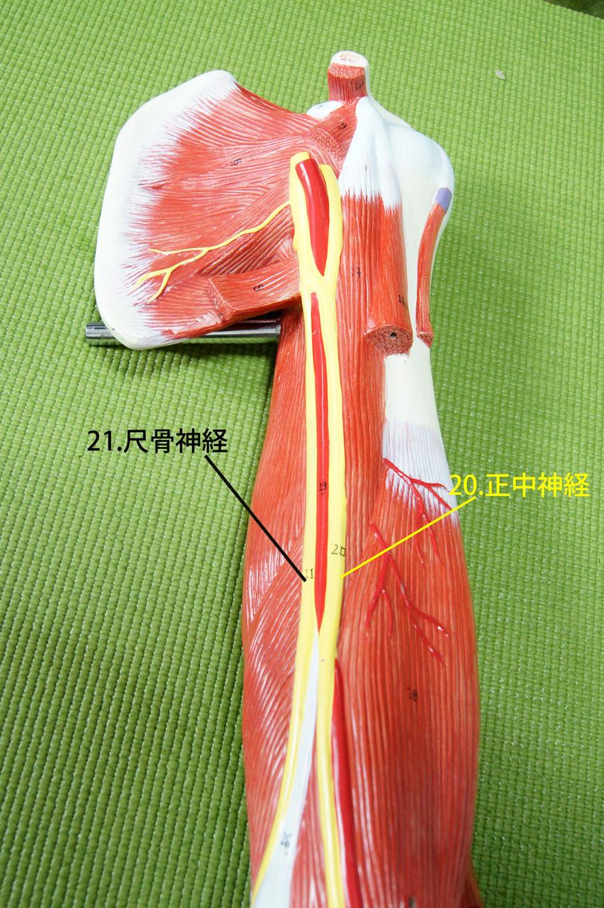 尺骨神経 前回の正中神経の近くを走行しています。 ■スカイネットパズル イルカ解剖モデル レビュ