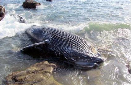 定置網かかり死ぬ?ザトウクジラが海岸に 高知