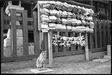 浅草神社でよく見かける猫