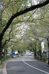 葉桜のスペイン坂・港区六本木