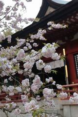 開花の遅い(4月下旬)天然記念物の鹽竈桜(宮城県塩釜市)