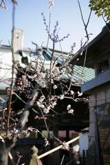 梅まつり・文京区湯島天神にて