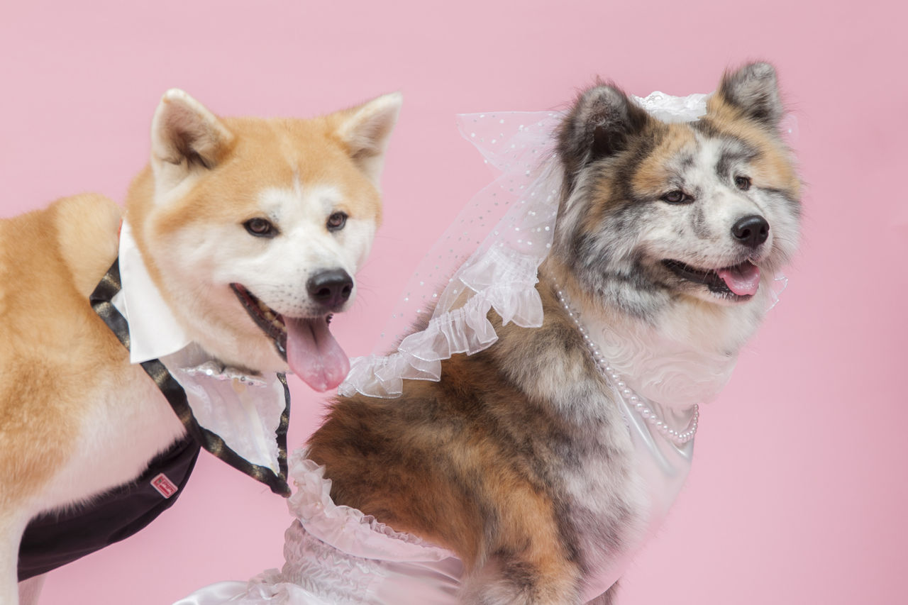 ��������� happy akita wedding