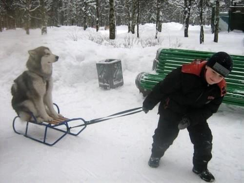 超レア!怠け者のシベリアンハスキー