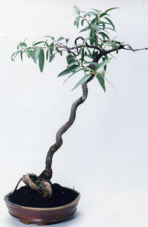 eucalipto3
