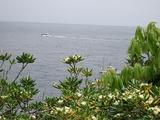 沈丁花みたいな花と海