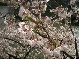 3/29 ぜんぶ咲きました