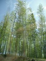 竹のきれいな季節です
