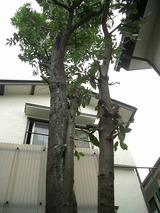 剪定を終えた木