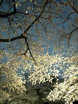 桜のすきまからも桜