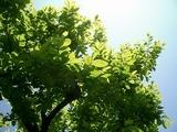 新緑のきれいな木