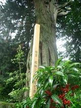 天然記念物のコウヤマキ