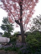 ピンクの木!