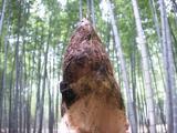 竹林とたけのこ.JPG