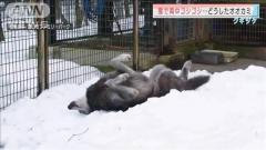オオカミが雪ゴロン!ほふく前進し体スリスリなぜ?