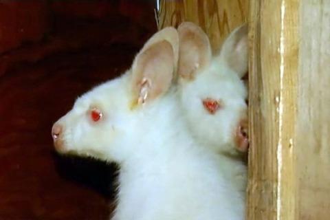 PAY-Albino-kangaroos (2)