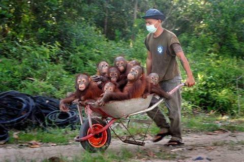 Pay-Baby-Orangutans (3)