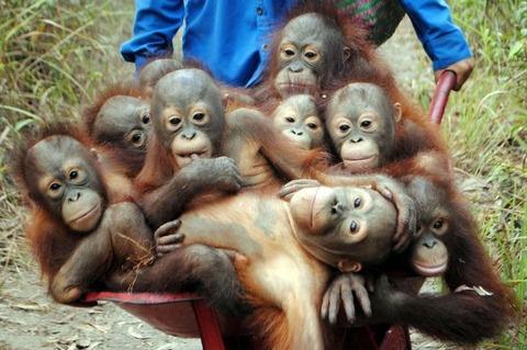 Pay-Baby-Orangutans (1)
