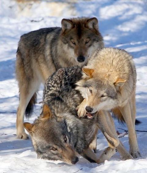 packofwolves-7-620x