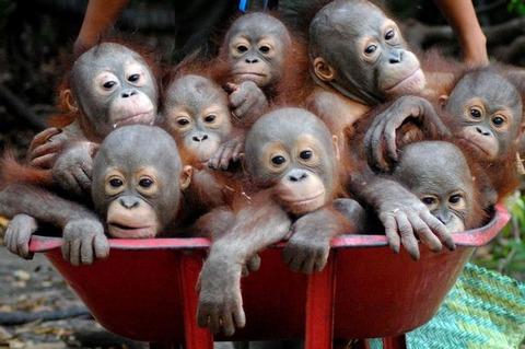 Pay-Baby-Orangutans