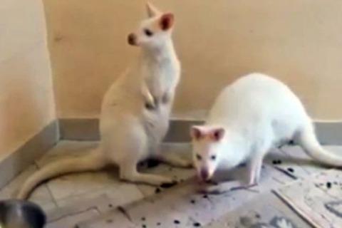 PAY-Albino-kangaroos (1)