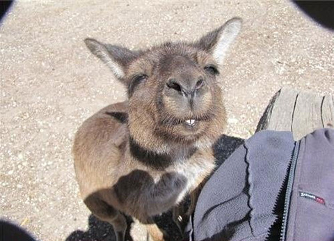 funny-kangaroo-squinting-face-eyes