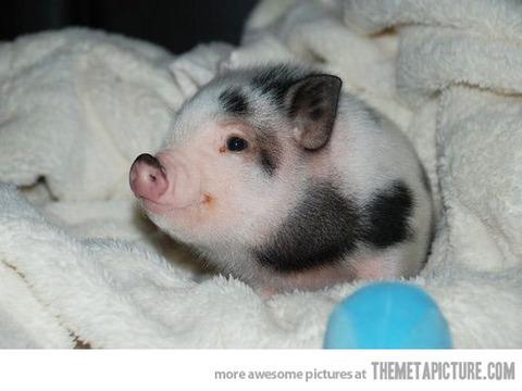 funny-piglet-tiny-pig-cute