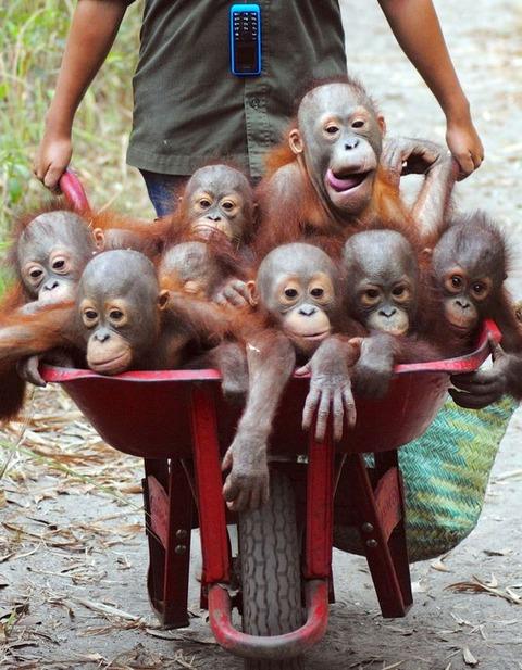 Pay-Baby-Orangutans (2)