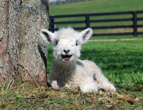 funny-lamb-happy-face