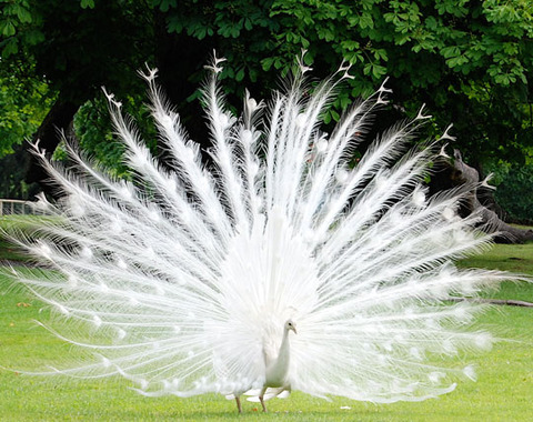funny-albino-peacock-beautiful-feathers
