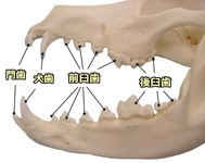 canine-dentition