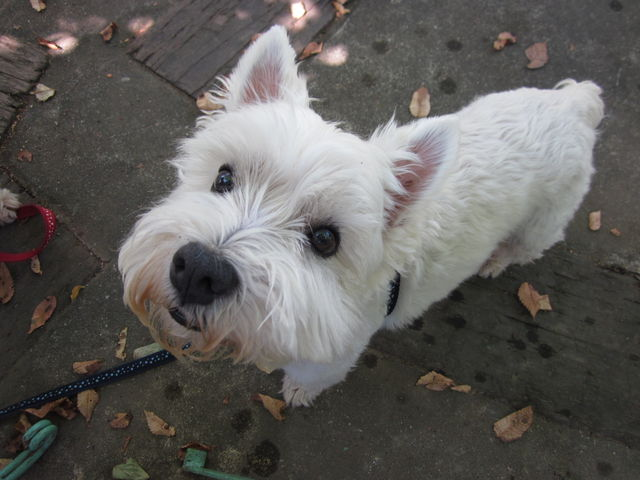 Image result for westie 犬 抱きしめる