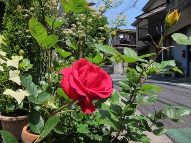 rose201305