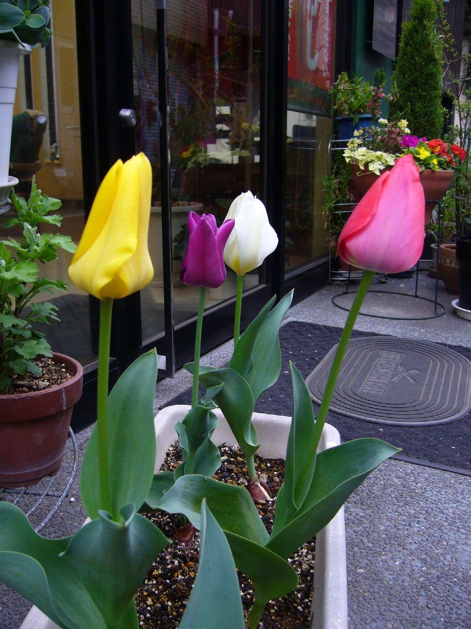 tulip0330