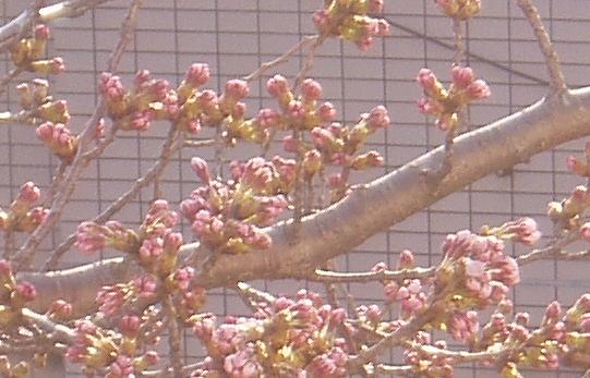 4/6 桜