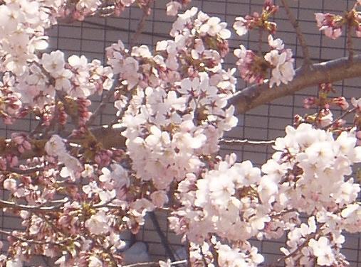4/9 桜