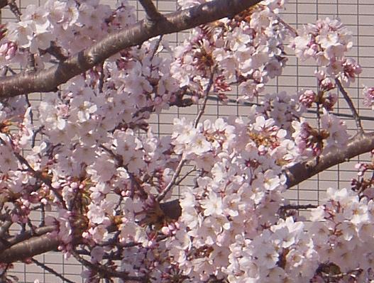 4/10 桜