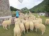 羊の餌やり