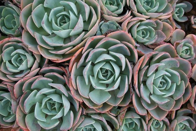 succulent-2371993_1920