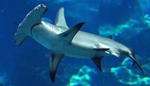 hammerhead-shark09