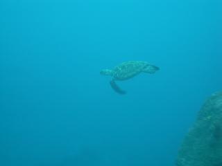 ウミガメ 10.24~26三宅島