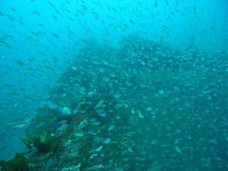 クロホシイシモチ 2.15熱海