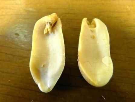 ピーナッツを2つに割ったとき、