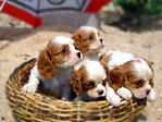 キャバリア子犬4匹