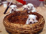 ウエスティ子犬4匹